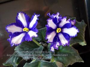 Neptune's Treasure (LLG) -цветущий стартёр(см.фото)