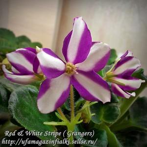 Red & White Stripe ( Grangers) -укорененный пасынок