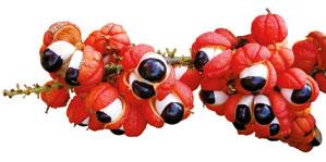 Гуарана плоды
