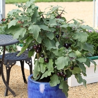 Баклажан (Solanum melongena F1) Pot Black, 50 семян
