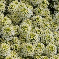 Алиссум морской (Alyssum maritimum) Easter Bonnet Lemonade, 1000 семян