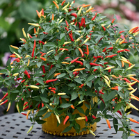Перец чили (Capsicum frutescens F1) Basket of Fire, 50 семян