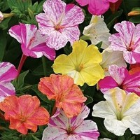 Мирабилис ялапа / Ночная красавица (Mirabilis jalapa) Bicolors Mixed, 5г семян