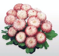 Маргаритка (Bellis perennis) Habanera White with Red Tips, 250 драже
