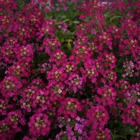 Алиссум морской (Alyssum maritimum) Easter Bonnet Deep Rose, 1000 семян