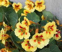 Настурция (Tropaeolum nanum) Top Flowering Double Peach Melba, 25г семян