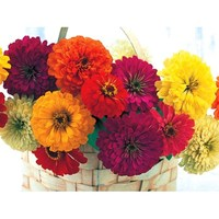 Цинния изящная (Zinnia elegans) Sunshine Mix, 1г семян