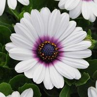 Остеоспермум Эклона (Osteospermum eclonis F1) Akila® White Purple Eye, 50 семян