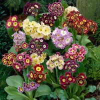 Примула ушковая (Primula auricula) Mixed, 0,5г семян