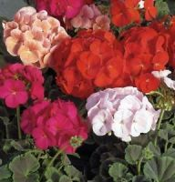 Пеларгония зональная (Pelargonium zonale F2) Colorama mixed, 0,5г семян