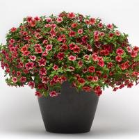 Калибрахоа (Calibrachoa) Crave Strawberry Star, 50 драже