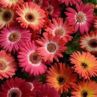 Гербера Джеймсона (Gerbera jamesonii) Revolution Bicolor Mixture, 25 обраб. семян